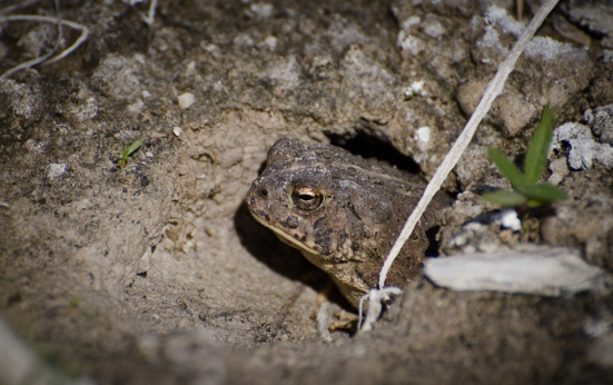 A Western Toad peeks from its burrow at Ash Meadows NWR.